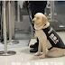 Viral ο σκύλος που αποκοιμήθηκε εν ώρα εργασίας