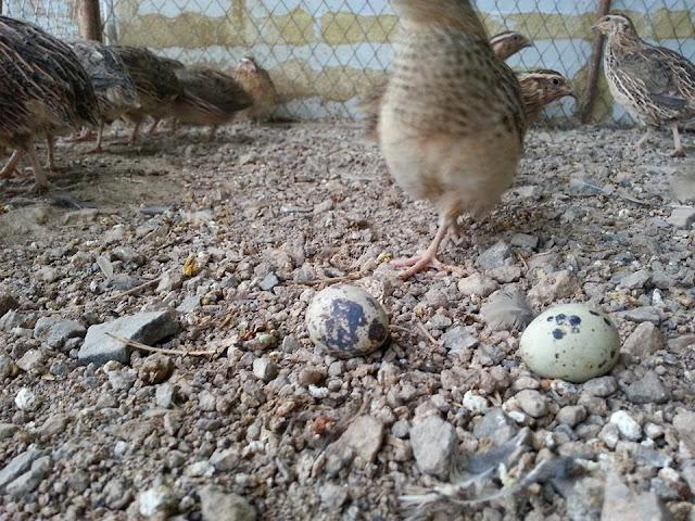 https://www.organicupperegypt.com/2019/07/Quail-farming.html