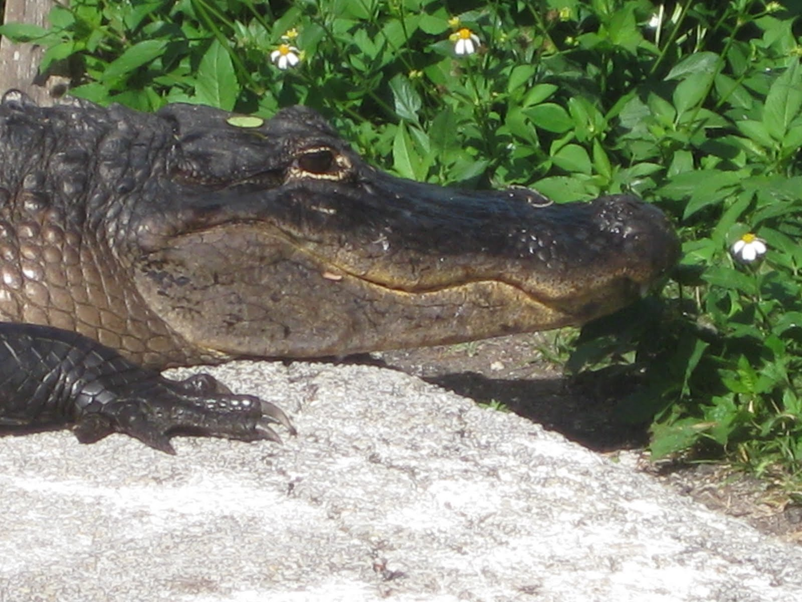Deckers on the Road: Crocodiles and Alligators