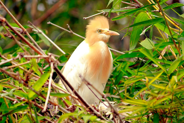 Cattle Egret in breeding plumage they have golden plumes on their head, chest, and back