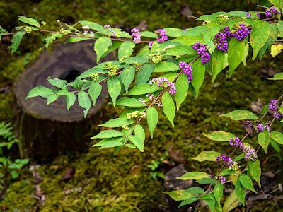 Murasaki-shikibu (Callicarpa japonica) fruits: Kaizo-ji