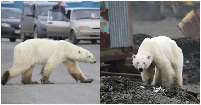Εξαντλημένη πολική αρκούδα ψάχνει απεγνωσμένα φαγητό στο κέντρο πόλης στη Σιβηρία