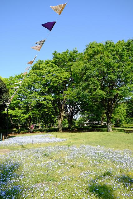 2015 GW 相模原公園のネモフィラ