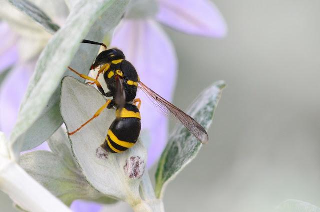 Ancistrocerus longispinosus