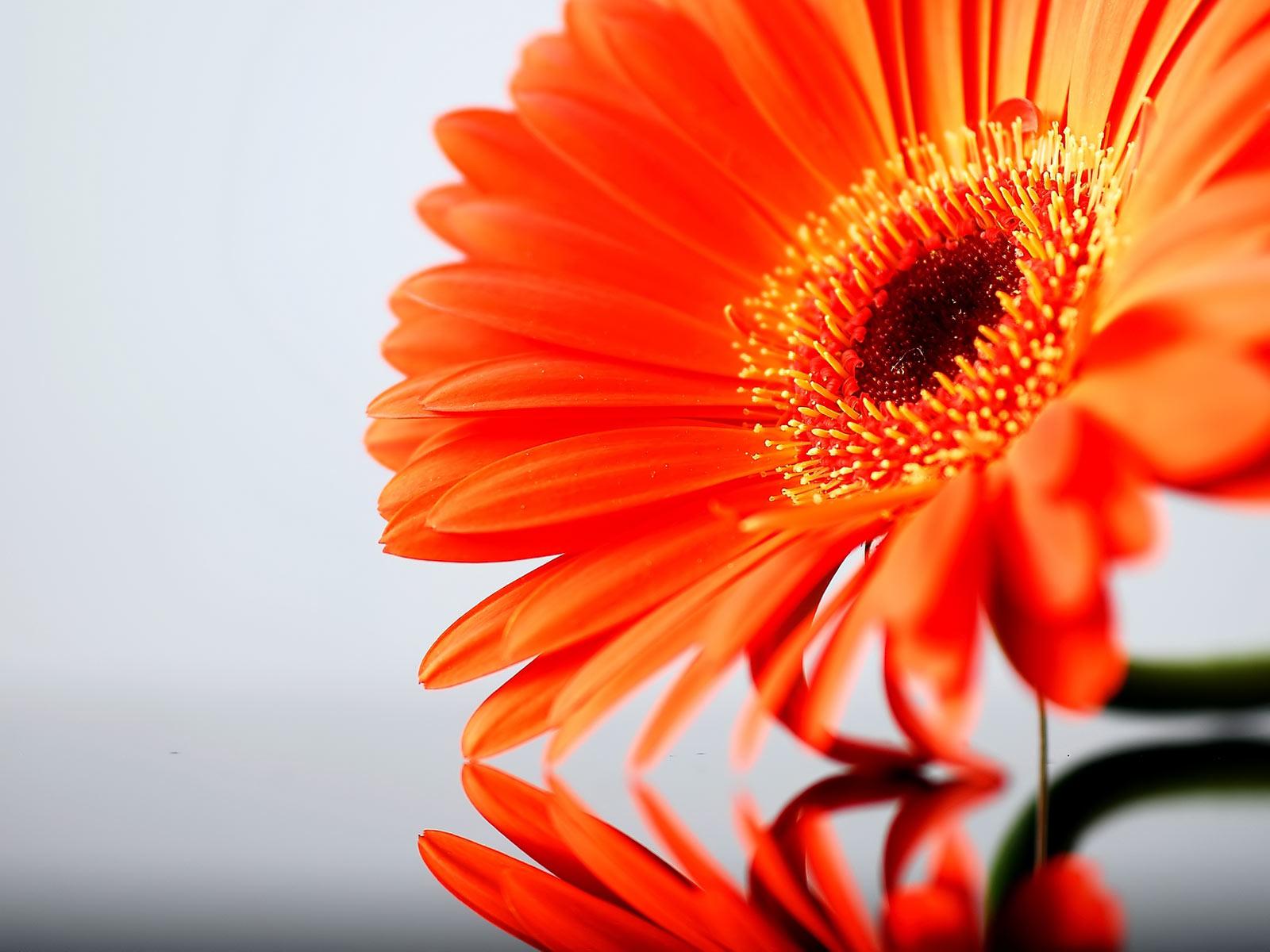 Flowers wallpapers orange flowers wallpapers - Gerber daisy wallpaper ...
