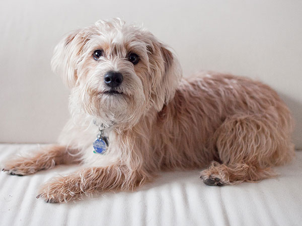 Crazy Pictures Cute Yorkie Poo Pics