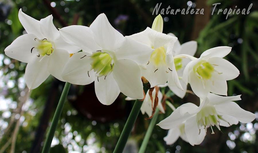 Flores del Lirio del Amazonas, Eucharis amazonica