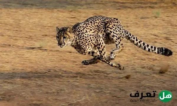ماهو اسرع حيوان بري في العالم