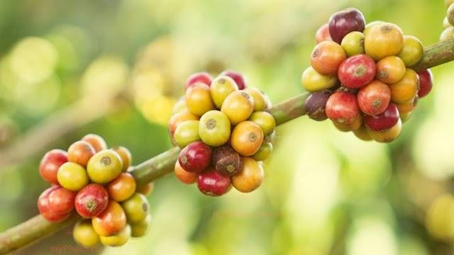 Giá cà phê hôm nay 10/8: Quay đầu tăng trở lại