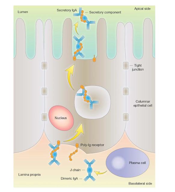 IgA secretion at the mucosal surface