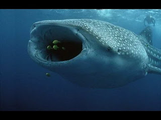 Megamouth Shark | facts | size | :