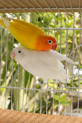 Housing and Caging of African Love Birds