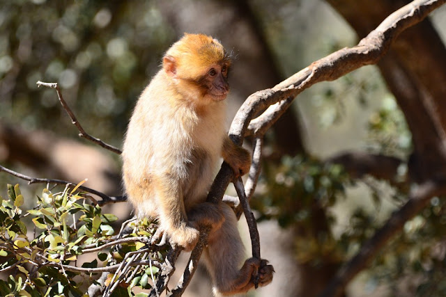 un jeune macaque Maroc