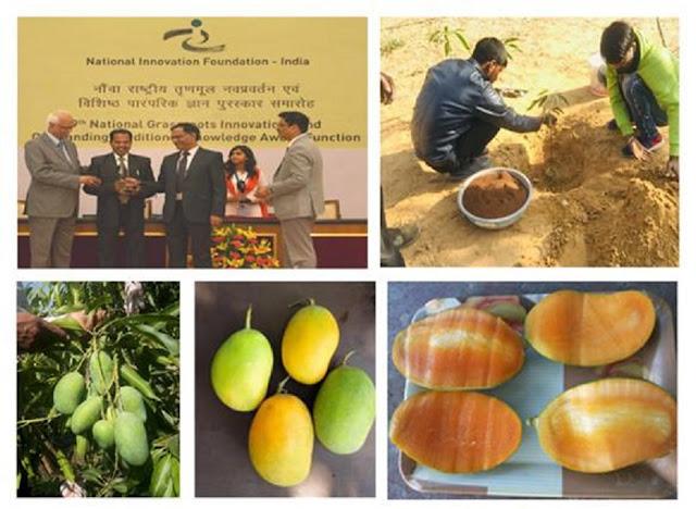 """Kota farmer develops  innovative variety mango  """"SADABAHAR:  that bears fruits round the year"""