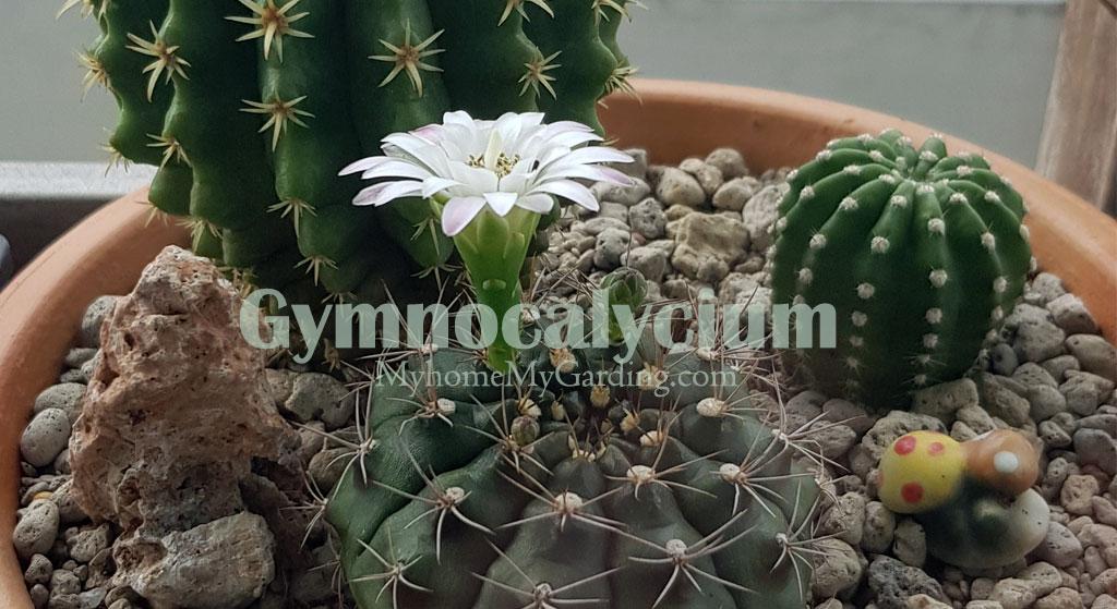Gymnocalycium Flower