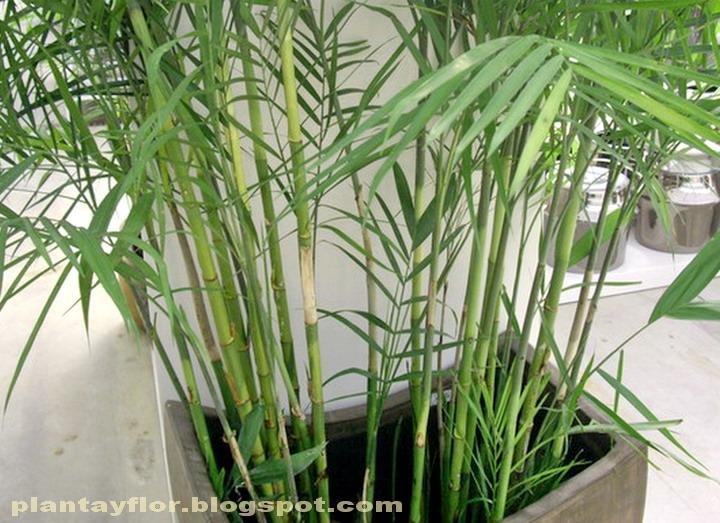 Plantas y flores chamaedorea seifrizii for Plantas de interior tipo palmera