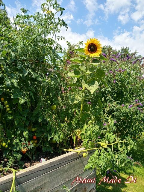 Sonnenblumen im Hochbeet - Sunflowers in my raised bed