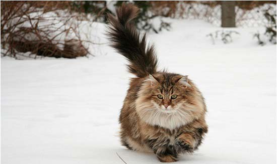 Norwegian Forest Cat - Most Beautiful Cats