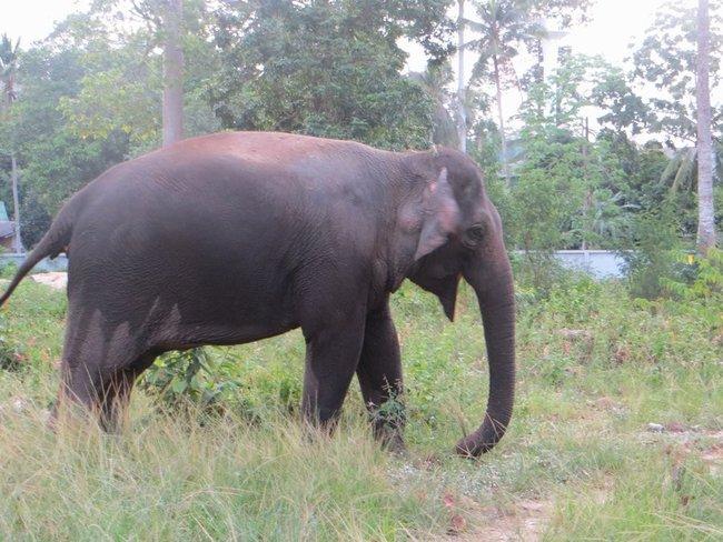 Слон пристегнутый к пальме ест траву