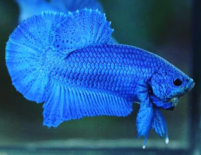 Ikan Cupang Royal Blue - Ikanhiasku.net