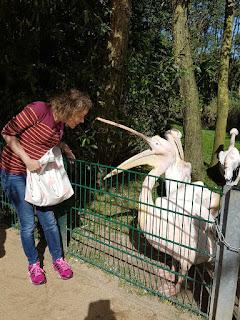 meerschweinchen-verstehen: Der Pelikan mit den großen Füßen ;)