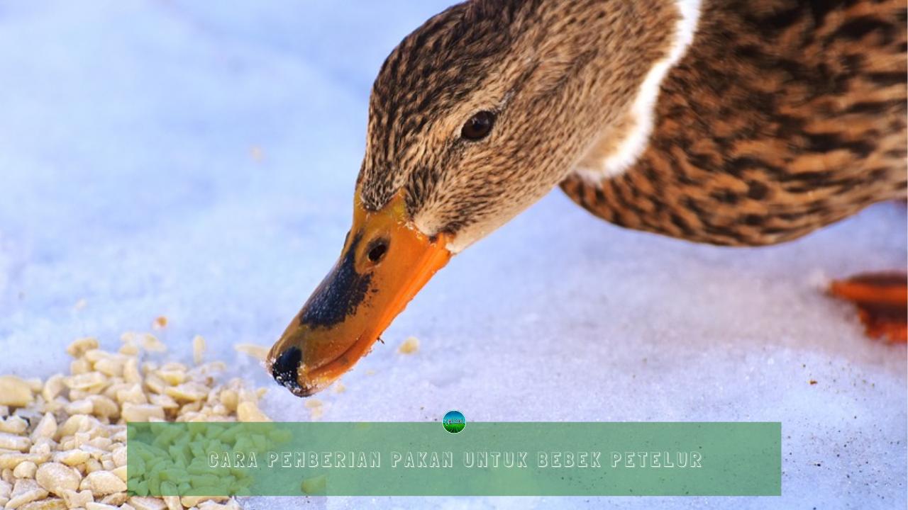 Cara Pemberian Pakan Untuk Bebek Petelur