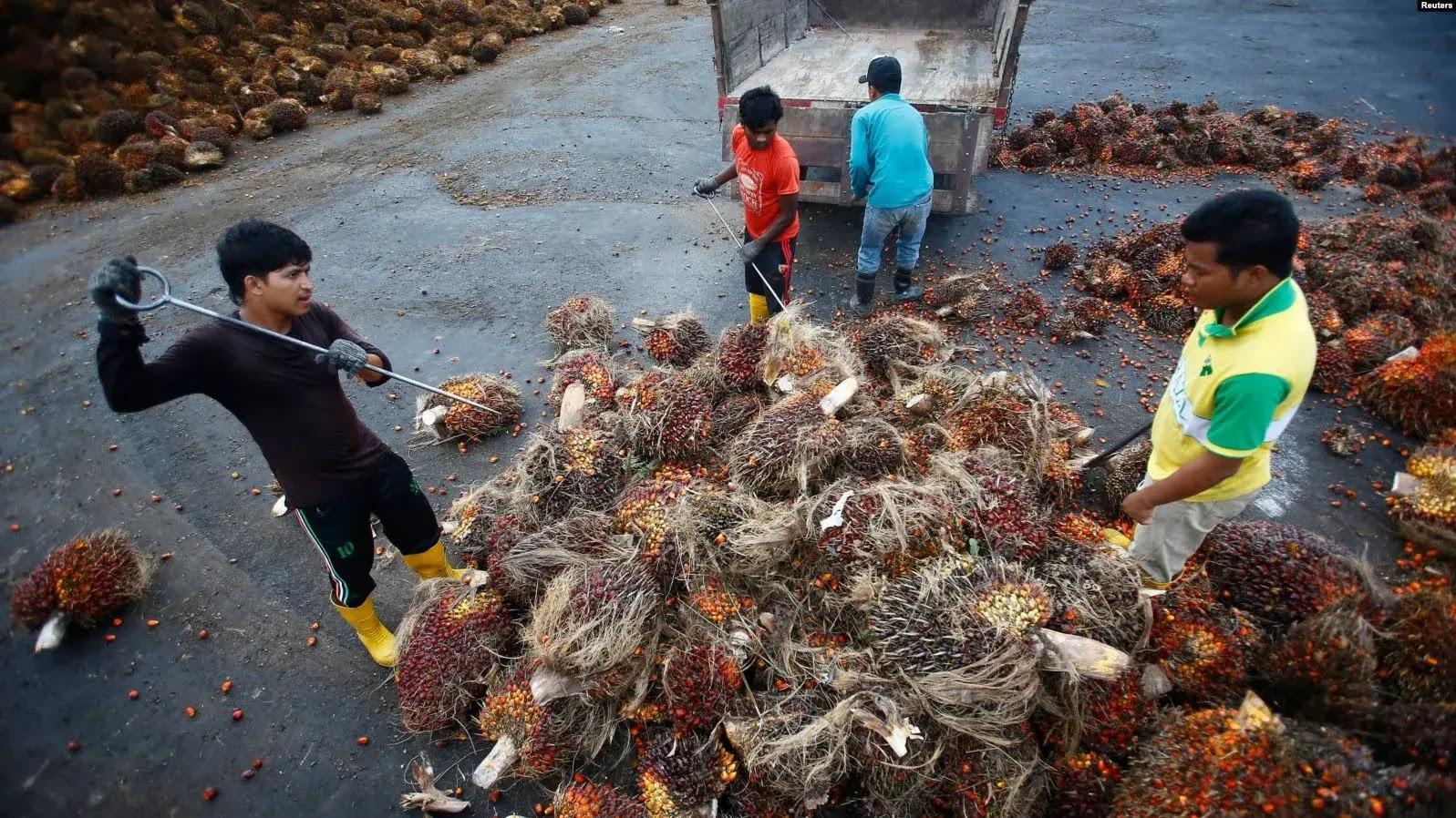 Indonesia Alami Eksploitasi, Banyak Pekerja Perkebunan Kelapa Sawit di Malaysia