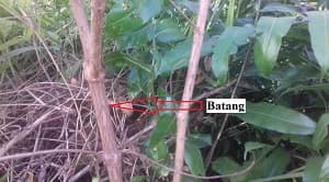 Tumbuhan karamunting atau dikenal dengan nama latin Rhodomyrtus tomentosa merupakan tumbuhan perdu dengan batang berkayu yang bisanya terdapat di dalam hutan. Tumbuhan ini salah satu jenis tumbuhan kehutanan yang umumnya dianggap sebagai tumbuhan pengganggu bagi tanaman kehutanan lainnya. Hal ini diakibatkan oleh pertumbuhan karamunting lebih cepat dari padat pertumbuhan tumbuhan yang lain. Tumbuhan karamunting dapat tumbuh dengan ketinggian mencapai 4 meter. Batang tumbuhan karamunting umumnya berwarna coklat muda dengan kulit luar pada batang terlihat seperti terkelupas atau mengering sehingga agak terasa kasar apabila diraba. Daun tumbuhan karamunting memiliki warna hijau baik pada saat muda maupun pada saat tua. Bunga tumbuhan karamunting terdiri dari 5 helaian bunga dengan warna ungu. Buah tumbuhan karamunting memiliki bentuk yang bulat agak lonjong dengan panjang dapat mencapai 1,5 cm. Manfaat tumbuhan karamunting terdiri dari berbagai macam terutama sebagai obat tradisional.