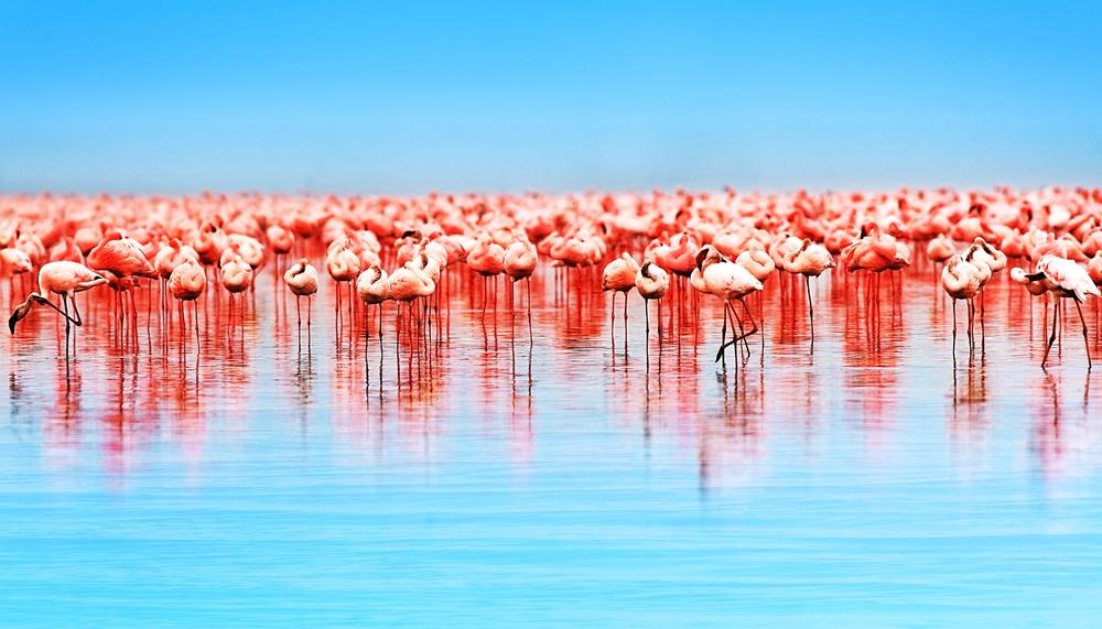 Фламинго на озере Накуру в Кении