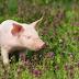 Ini Manfaat dan Resiko Mengonsumsi Daging Babi