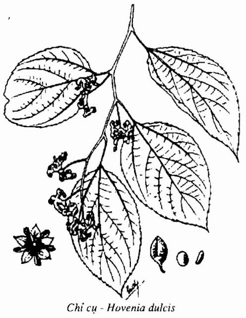 Hình vẽ CHỈ CỤ - Hovenia dulcis - Nguyên liệu làm Thuốc Ngủ, An Thần, Trấn Kinh