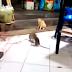Dos ratas enfurecidas y un gato muerto de miedo (video viral)
