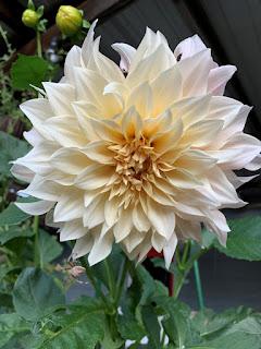 Creamy White Dahlia