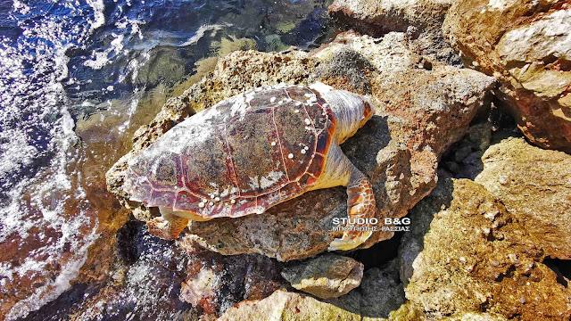 Νεκρή θαλάσσια χελώνα εντοπίσθηκε από τουρίστα στο Ναύπλιο (βίντεο)