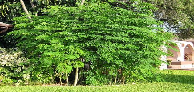 المصريون القدماء كانوا يستخدمون شجرة المورينجا