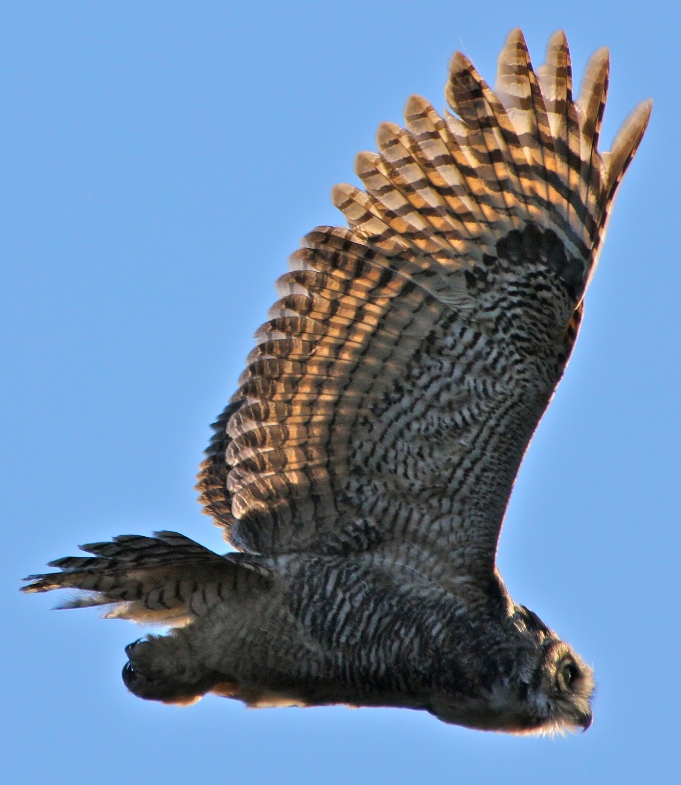 An amazing shot of the great horned owl in flight.