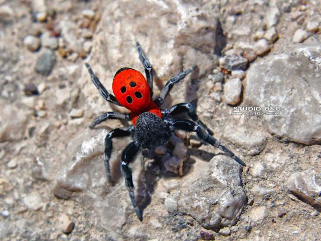 Η φωτογραφία της ημέρας: Η αράχνη πασχαλίτσα