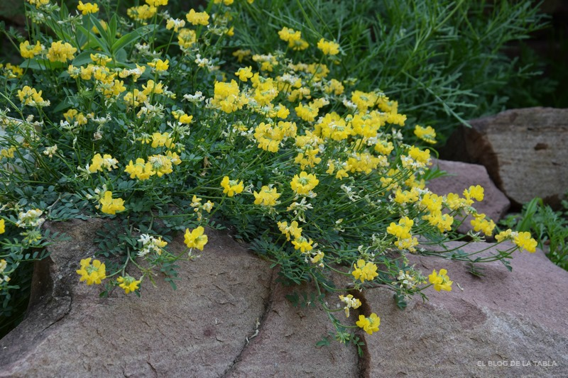 flores amarillas de planta mediterránea