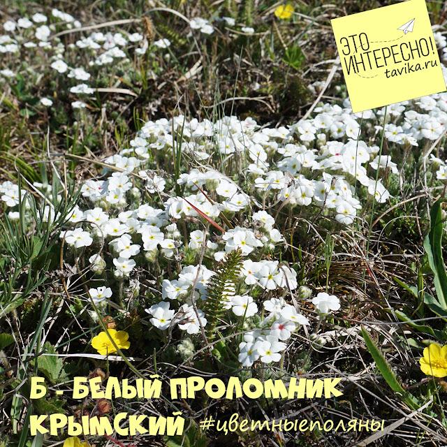 проломник крымский