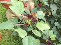 Pengolahan tanaman rosela berkhasiat