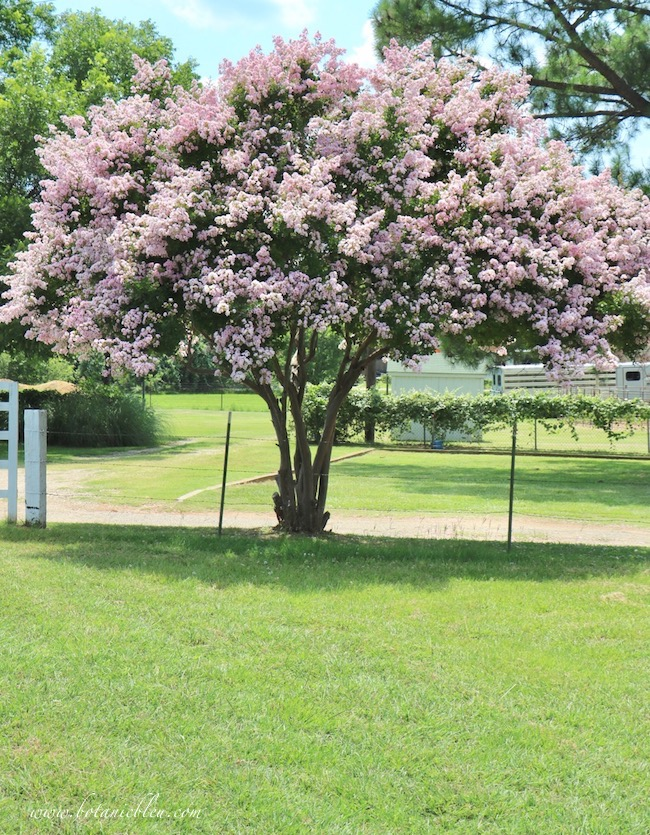 Pink crepe myrtle tree in full bloom is a favorite of southern gardeners