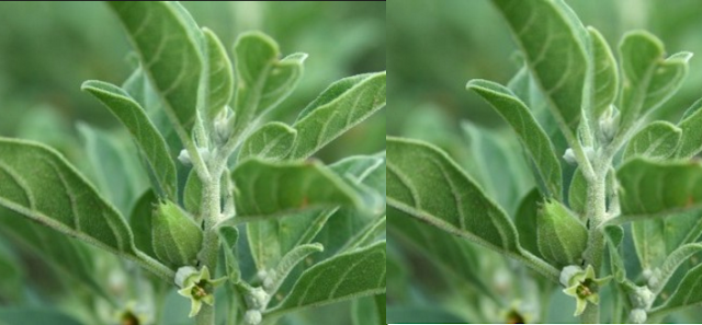 Ashwagandha Fights Signs Of Aging