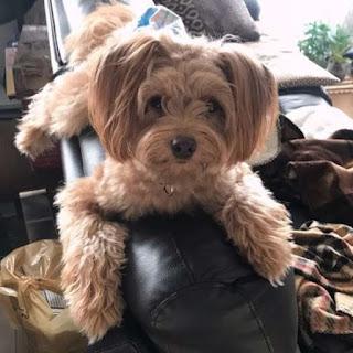 cães no braço do sofá
