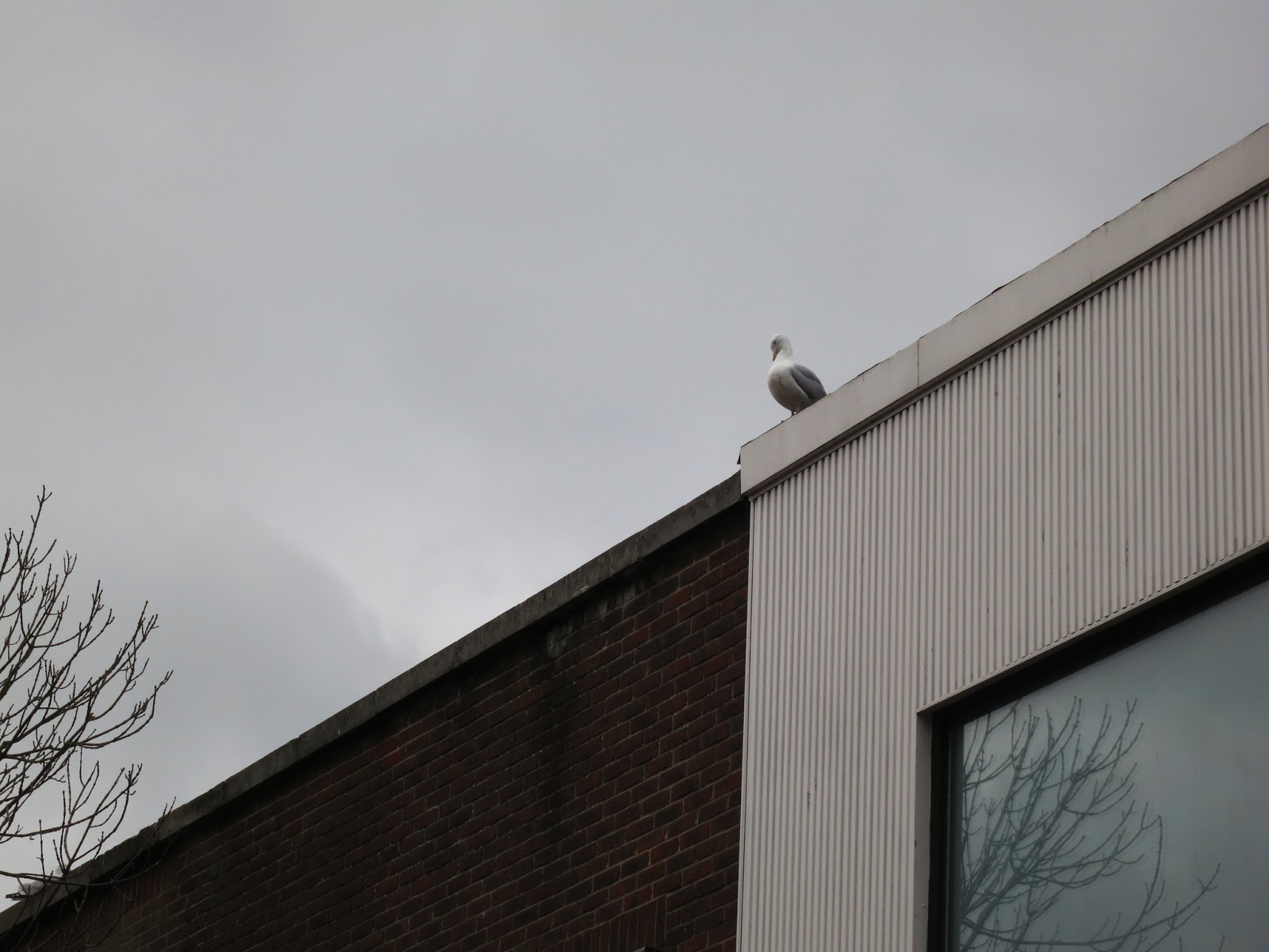 Gull on roof of boring building with tree reflected in window.