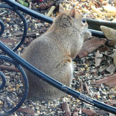 Tail less squirrel closeup