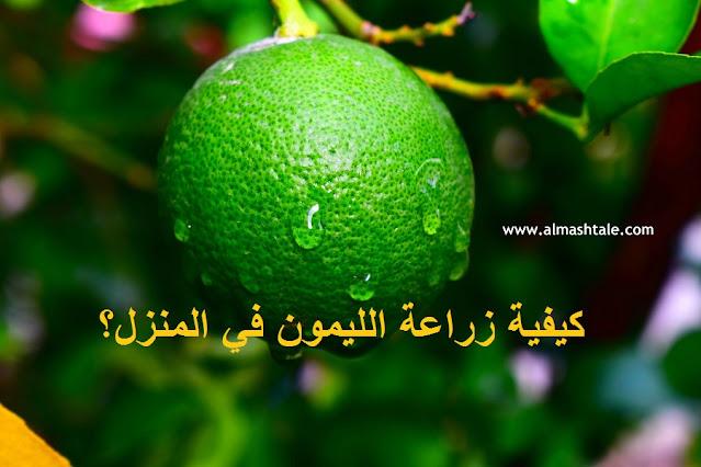 زراعة شجرة الليمون في أصيص
