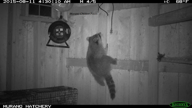 Racoons can climb chicken coop walls.