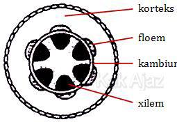 Keterangan bagian-bagian penampang batang tumbuhan dikotil: korteks, kambium, floem, dan xilem