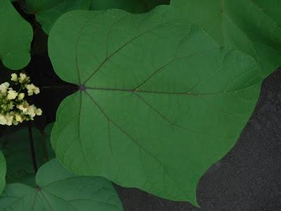 キササゲの大きな葉