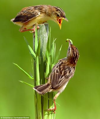 burung kasih makan burung lainnya